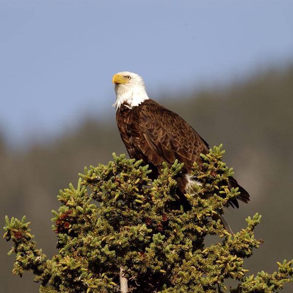 radium_eagle
