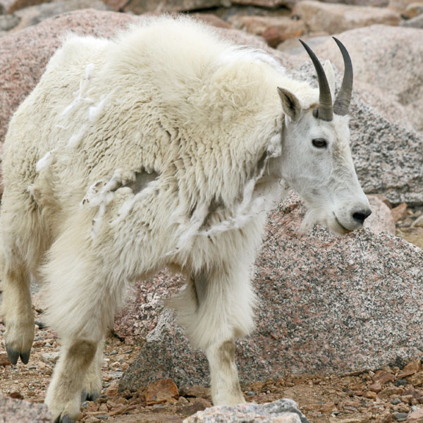 radium_mtn_goat